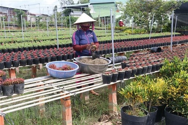 Flower farmers prepare for Tet holiday market hinh anh 1