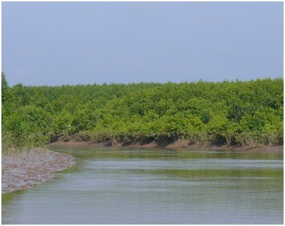Mangrove forests used to breed aquatic species hinh anh 1