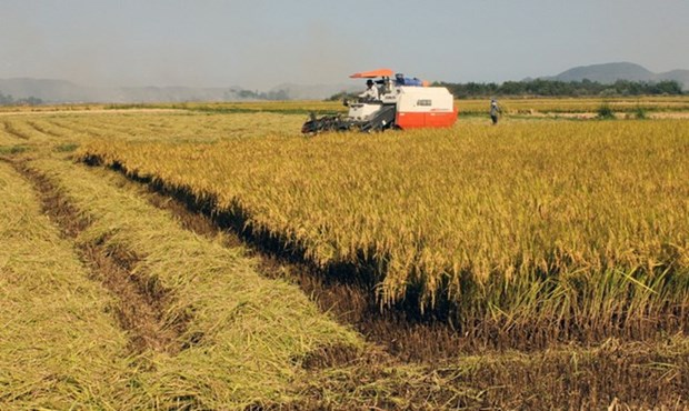 Dong Thap's rice output reaches over 3.3 million tonnes hinh anh 1