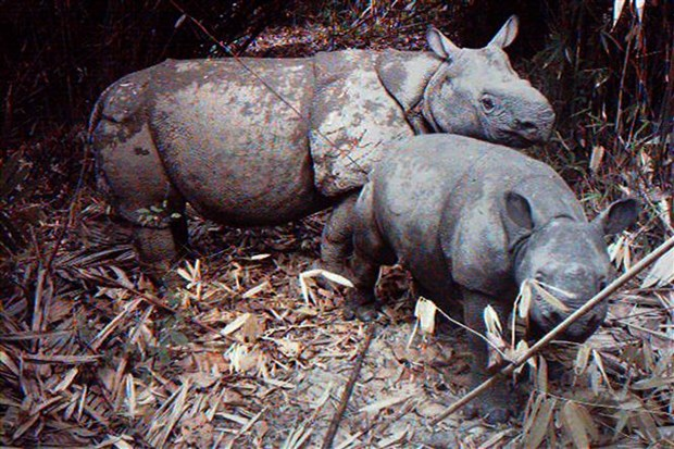 Indonesia tsunami sparks fears of Javan rhino endangerment hinh anh 1