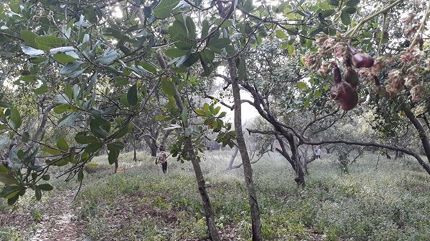 Cashew farmers fear poor yield during harvest season hinh anh 1