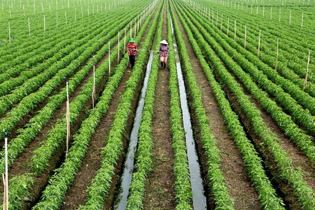 Mekong Delta farmers expand clean veggie, fruit farming area hinh anh 1