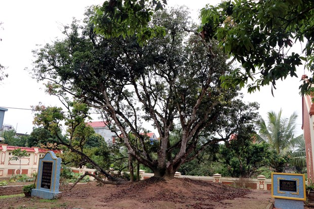 Hai Duong province moves to conserve ancestral lychee tree hinh anh 1