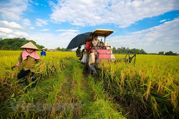 Soc Trang: Organic rice cultivation yields good results hinh anh 1