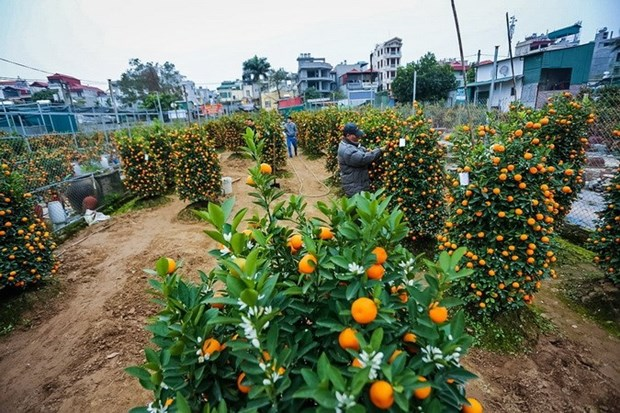 Ornamental plant growers rush towards Lunar New Year hinh anh 1