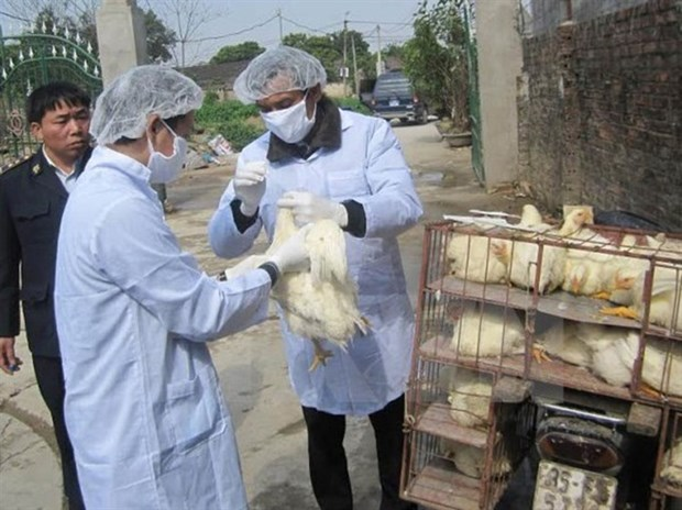 Provinces take action against disease outbreaks among cattle, poultry hinh anh 1