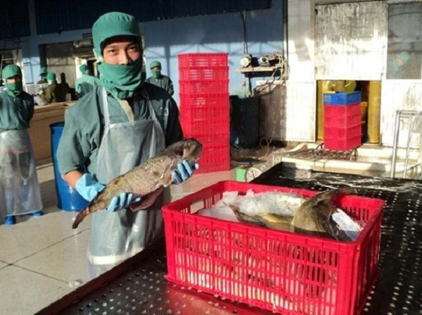 Company in Khanh Hoa licensed to export pufferfish hinh anh 1
