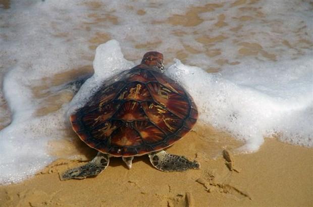 Phu Yen: Rare sea turtle returned to nature hinh anh 1