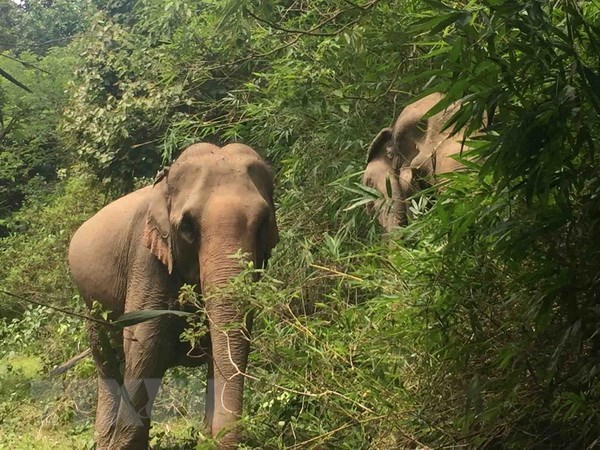 Animals Asia funds elephant conservation project in Dak Lak hinh anh 1