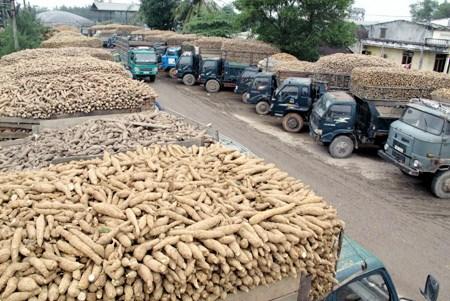 Domestic cassava industry faces big hurdles hinh anh 1