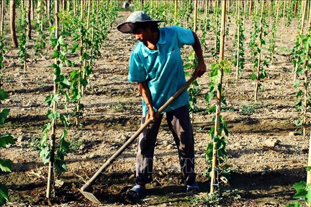 Ninh Thuan province to switch to new crops in 2019 hinh anh 1