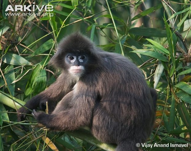 Two rare langurs killed in Pu Mat National Park hinh anh 1