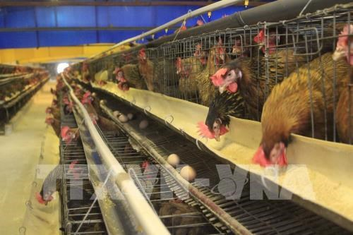 European poultry quality campaign in Vietnam reviewed hinh anh 1