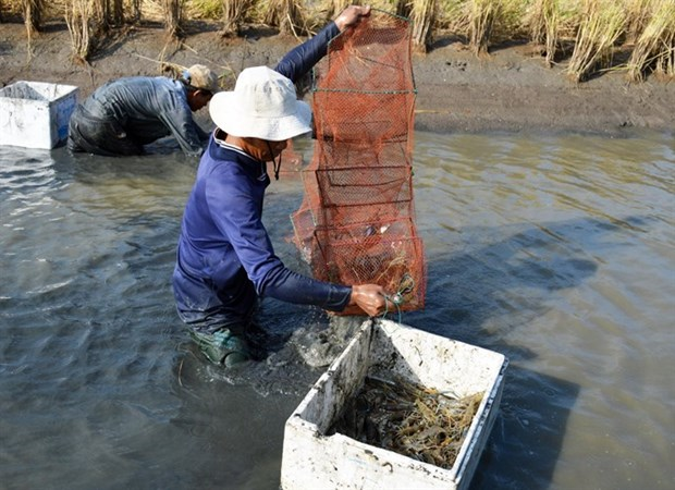 Mekong Delta farmers reap high profits from breeding giant river prawn hinh anh 1