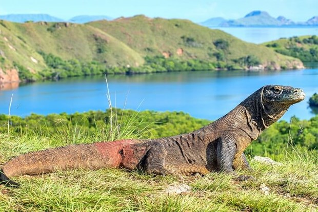 Indonesia to temporarily close Komodo Island hinh anh 1