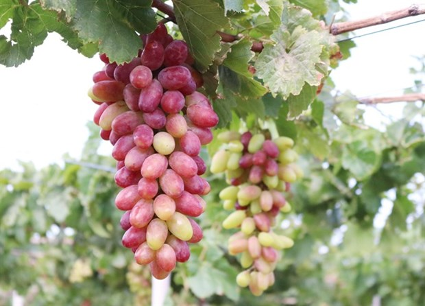 Ninh Thuan's new grape variety approved for cultivation hinh anh 1