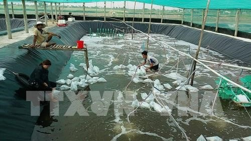 Master plan needed to develop shrimp farming hinh anh 1