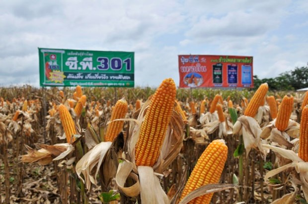 Thailand becomes world's No 1 exporter of sweet corns hinh anh 1