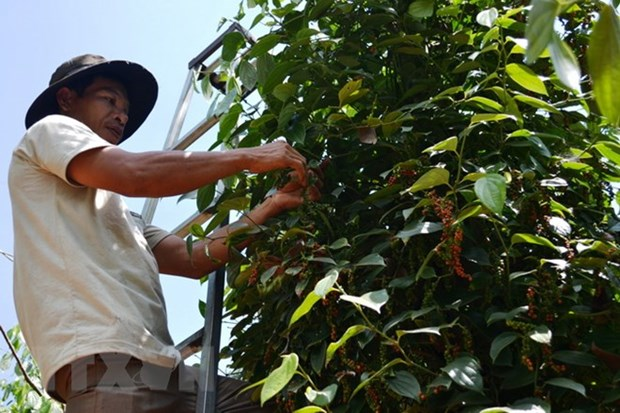High-tech application in planting black pepper hinh anh 1