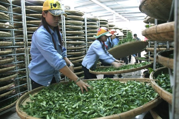 Vietnam's tea exports down in both volume and value hinh anh 1