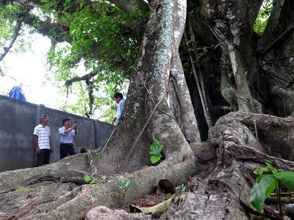 Six more trees recognised as national heritage tree hinh anh 1