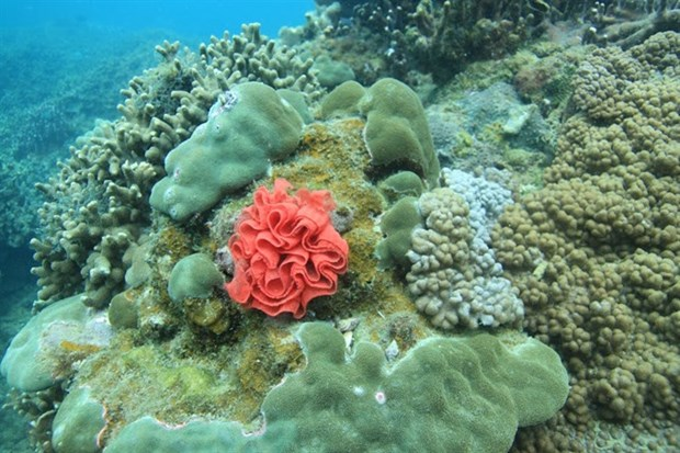 Coral reefs restored off Cham Island hinh anh 1