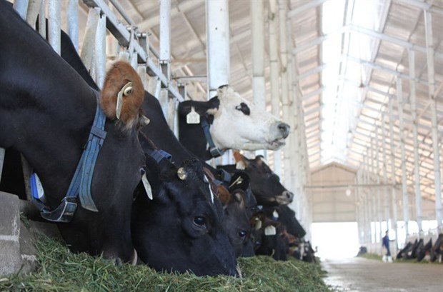 Local dairy industry faces foreign pressure hinh anh 1