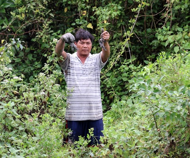 Farmers profit from breeding crabs amid mangroves hinh anh 1