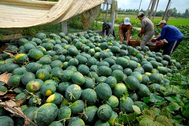 Vietnam's watermelons face tougher regulations from China hinh anh 1