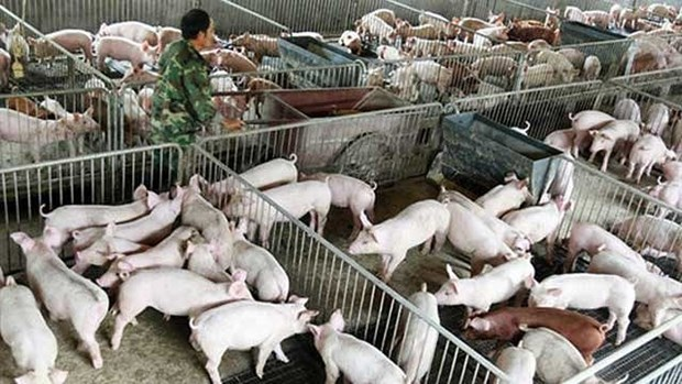 Preparations made to cope with swine fever hinh anh 1