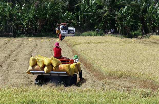 Mekong Delta enjoys good start to rice harvest hinh anh 1
