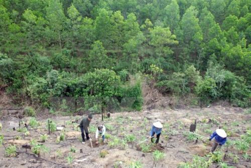 Vietnam bolsters tree planting, livelihoods for forest growers hinh anh 1