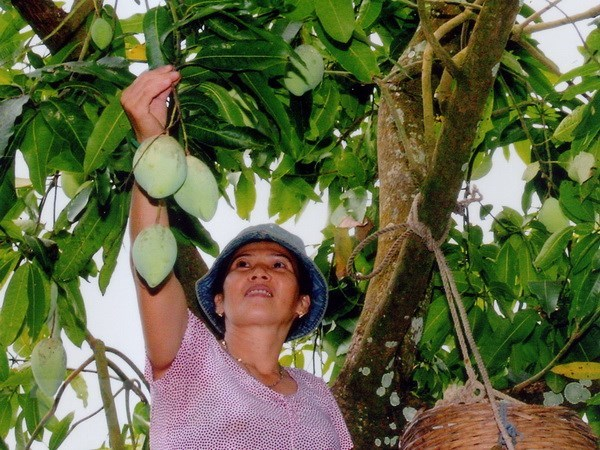 Vietnam officially begins mango exports to US hinh anh 1