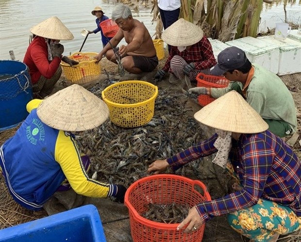 Kien Giang to expand shrimp farming models hinh anh 1
