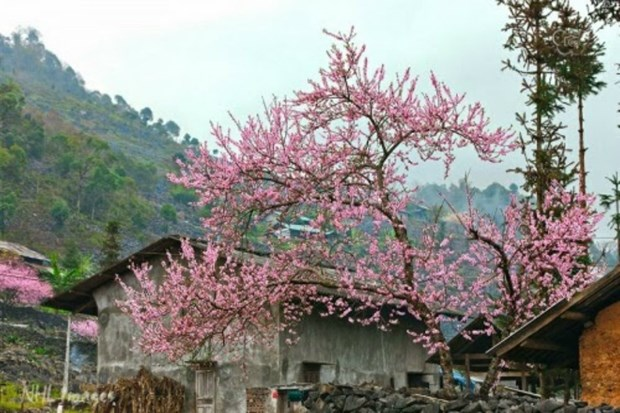 Peach blossom festival in Dong Van stone plateau hinh anh 1