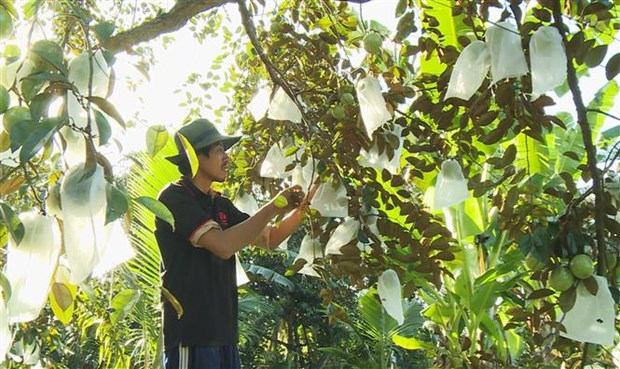 Star apple shipment to US to increase threefolds hinh anh 1