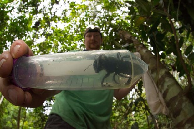 World's largest bee species rediscovered in Indonesia after nearly 40 years hinh anh 1