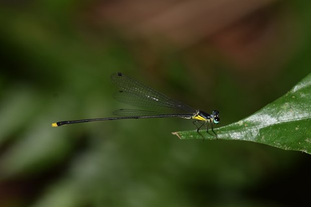 New damselfly species found in central Vietnam hinh anh 1