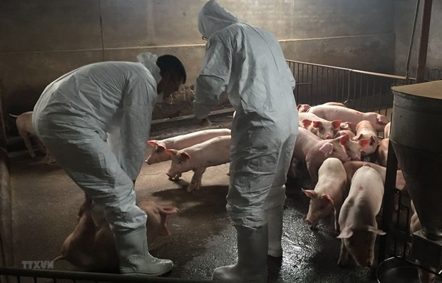Localities take measures to prevent African swine fever hinh anh 1