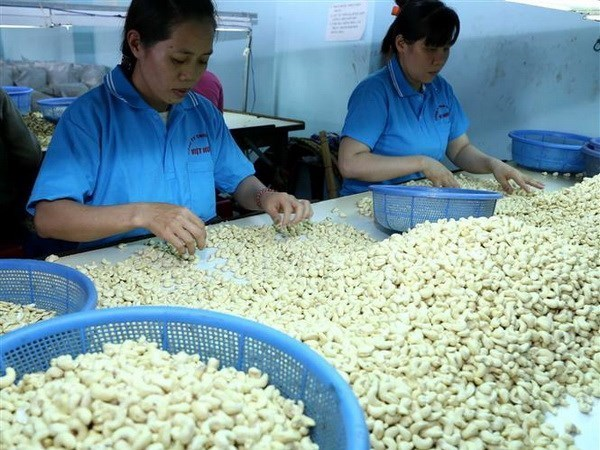 Forecast rise in world cashew nut prices brings hope to domestic processors hinh anh 1
