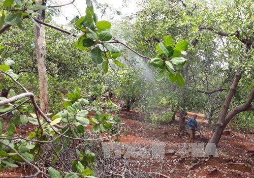 Dutch company eyes 5,000 ha of clean cashew land in Binh Phuoc hinh anh 1