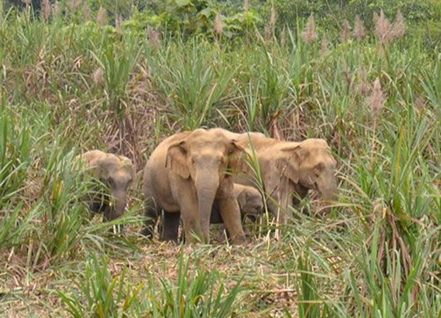 Wild elephants destroy fields in Dong Nai hinh anh 1
