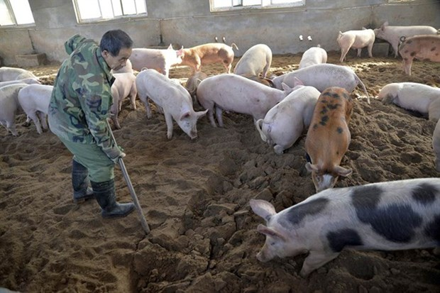 Trade ministry ensures pork supply despite African swine fever outbreak hinh anh 1