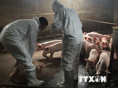 Localities act quickly to stamp out African swine fever outbreaks hinh anh 1