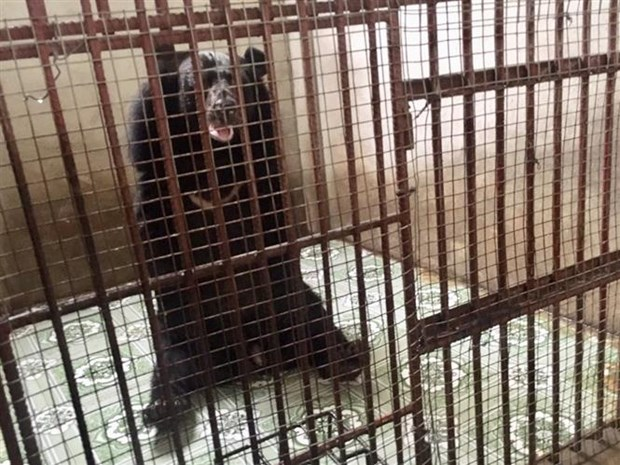 Two caged bears in Binh Duong rescued hinh anh 1