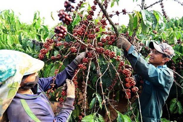 Vietnam targets higher coffee quality, value hinh anh 1