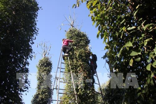 Hi-tech pepper cultivation expands in Quang Tri hinh anh 1
