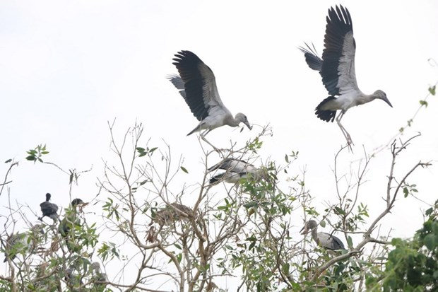 Rare Asian openbills spotted in Bac Lieu Bird Sanctuary hinh anh 1