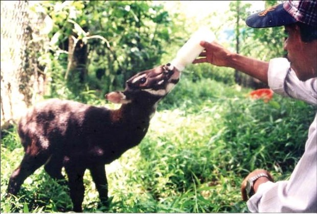 Agriculture ministry, IUCN work to protect saola hinh anh 1