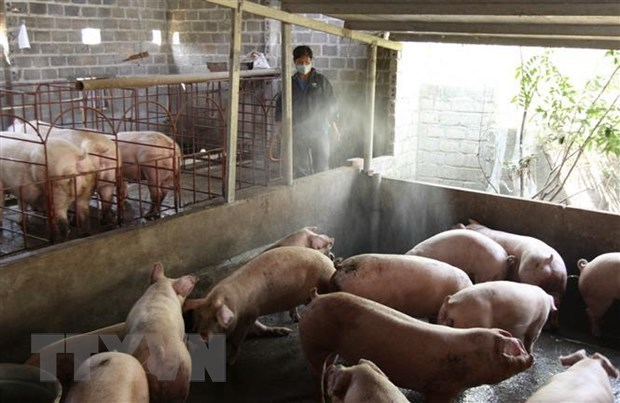 Cambodia reports first African swine fever outbreak hinh anh 1